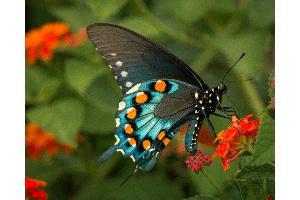 Attracting Erflies To Your Garden At Pike Nurseries