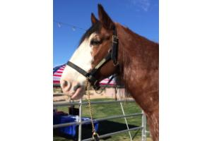 USA Clydesdale Preservation Foundation | Arizona Events